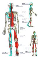 筋連結と経筋