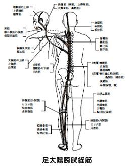 足太陽膀胱経筋